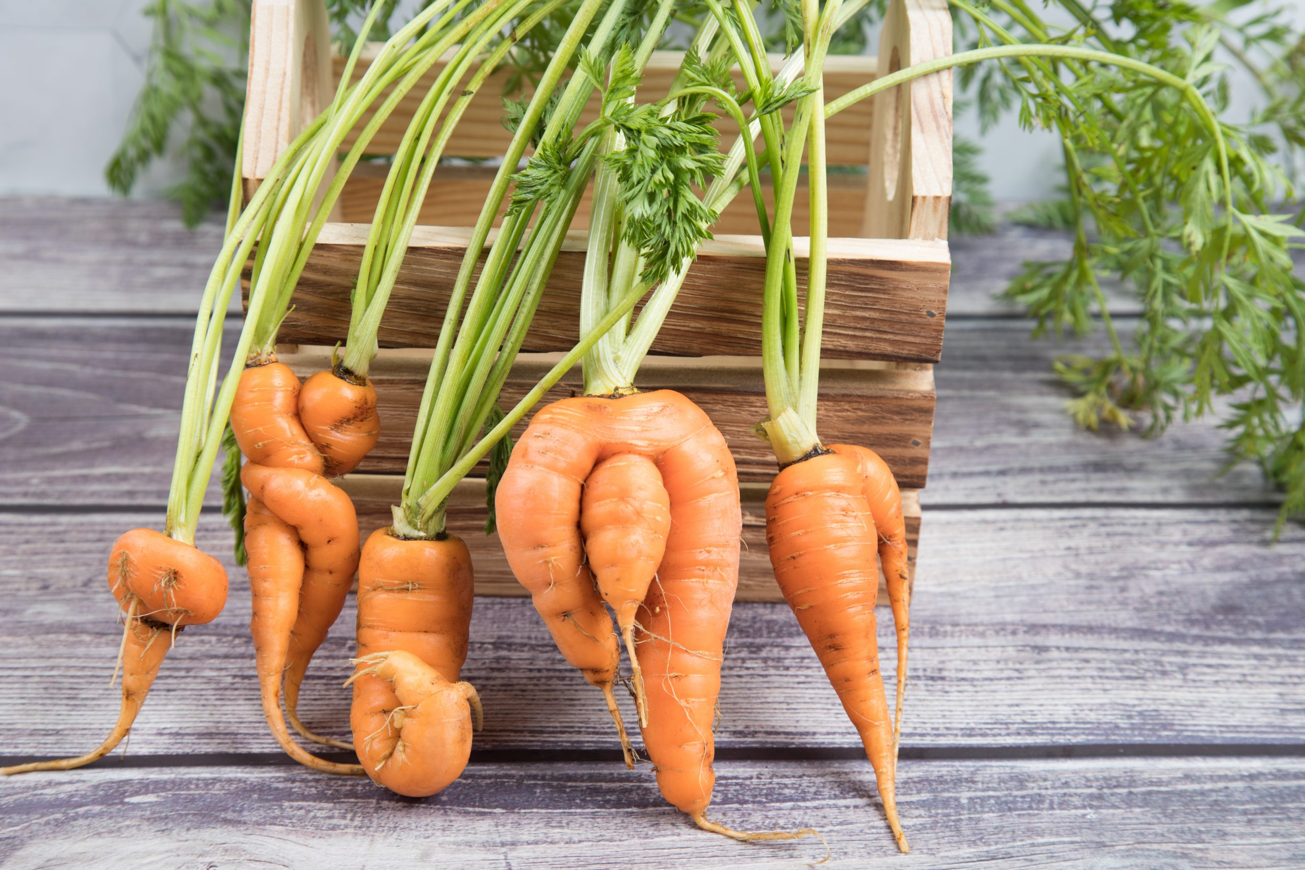 A,Few,Deformed,,Ugly,Carrot,Roots,With,A,Bizarre,Shape